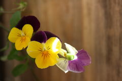 Violets. Three small purple and yellow voilets Royalty Free Stock Photos