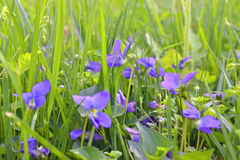 Violets. Tiny blue violets hiding in a spring meadow among a green grass Royalty Free Stock Images