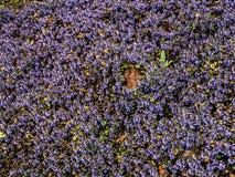 Violets. Tiny violet flowers like violet carpet Stock Images