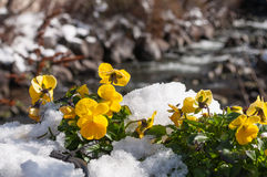 Violets under the snow. Violets are punched through the snow Stock Photo