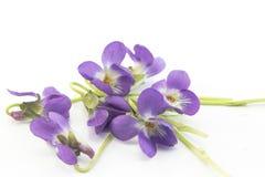 Violets Viola Odorata Arkivbilder