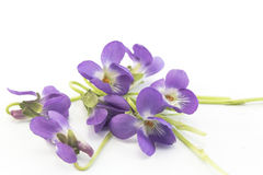 Violets, Viola Odorata. Isolated on White Stock Images