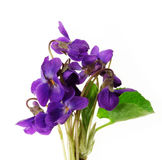 Violets on white background Stock Images