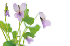 Violets on white background Royalty Free Stock Image