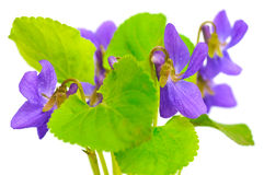 Violets on white background Royalty Free Stock Photos