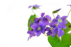 Violets on white background Stock Photos