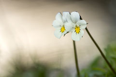 Violets wild flowers Stock Photography
