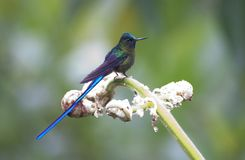 Violetstaartnimf, Violet-tailed Sylph, Aglaiocercus coelestis stock photos