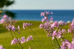 violett在草坪,绿草,罗得岛,希腊开花 免版税库存图片