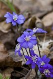 violett Royaltyfri Bild