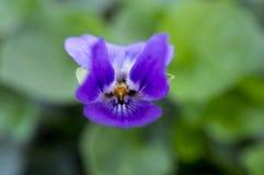 Violett Lizenzfreies Stockbild