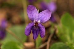 Violett Arkivbilder