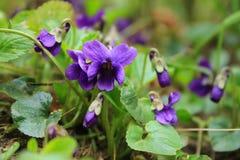 violett Arkivfoto
