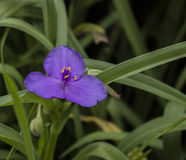 violett Lizenzfreie Stockbilder