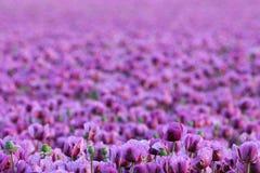Violett Stockfotografie