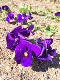 violett Stockfoto