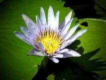 Violett acuatic blomma Royaltyfria Foton