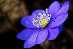 Violett anemone Royalty Free Stock Photo