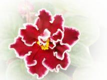 Violett arcturus Arkivfoton