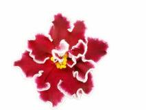 Violett arcturus Royaltyfri Bild