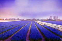 Violett atmosfär i hyacintfält i morgonljus