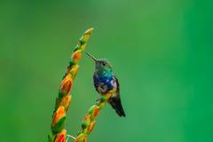 Violett-aufgeblähter Kolibri, jugendlich Stockbild
