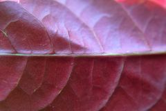 Violett blad för makro arkivbilder