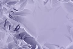Violett blom- bakgrund Blommor av liljor på en pastellfärgad purpurfärgad bakgrund Vykort för ferien Arkivfoton