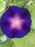 Violett blomma royaltyfri fotografi