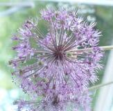 Violett blomma Arkivfoto