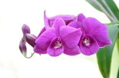 Violett blomma Royaltyfri Foto