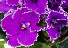 Violett blomma Royaltyfria Bilder