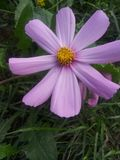 Violett blomma Arkivbild