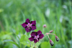 Violett blomma för blomning Royaltyfri Foto