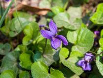 Violett blomma för blomning Royaltyfria Bilder