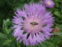 Violett blomma för persisk blåklint med biet Royaltyfri Bild