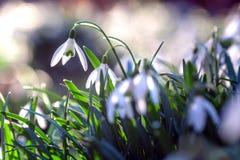 Violett blomma för Shiner i vårtid arkivfoto