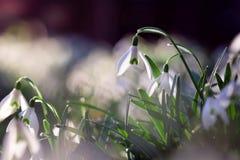 Violett blomma för Shiner i vårtid royaltyfria foton