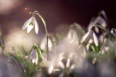 Violett blomma för Shiner i vårtid royaltyfri fotografi