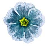 Violett blomma för turkos som isoleras på vit bakgrund För design Närbild royaltyfria foton