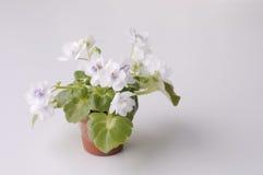 Violett blomma i en kruka Fotografering för Bildbyråer
