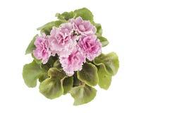 Violett blomma i en kruka Royaltyfria Bilder