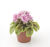 Violett blomma i en kruka Royaltyfri Fotografi