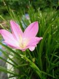 Violett blomma i mitt hem Royaltyfria Bilder