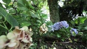 Violett blomma i trädgård stock video