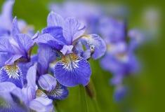 Violett blomma - iris Arkivfoton