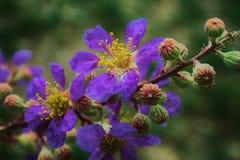 Violett blomma med den gula carpelen, når rainning royaltyfri bild