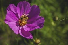 Violett blomma och bi Arkivfoto