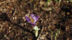 Violett blomma: Saffron/krokus arkivbilder