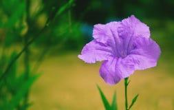Violett blommabakgrund Royaltyfri Foto